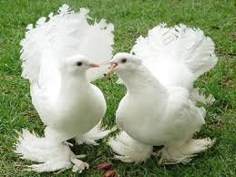 fantail pigeons 2